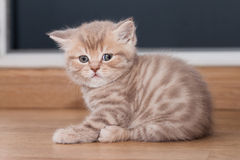 Pedigreed Straight Scottish kitten Royalty Free Stock Image
