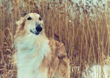 Pedigreed Wolfhound Russian borzoi breed dog. Stock Image