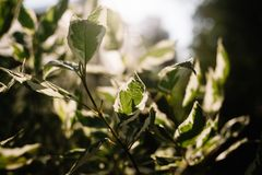 Pedilanthus with green leaves. Shallow depth of field. Leaves in backlit sunlight stock photography