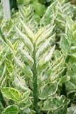 Pedilanthus tithymaloides aanklacht in aardtuin stock foto