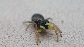 Pedipalps amarelos saltando mover-se da aranha pouco filme