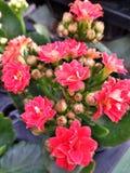 Pedra cor-de-rosa das flores Fotos de Stock Royalty Free