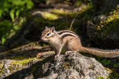 Pedra do retrato do esquilo Fotos de Stock Royalty Free