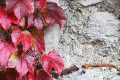 A pedra obstrui a parede velha, com unpon das folhas ele Imagens de Stock Royalty Free