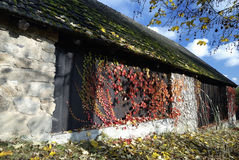 Pedra velha e celeiro de madeira cobertos pelo musgo e por plantas de escalada no outono Imagens de Stock