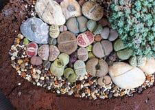 Pedra viva de Lithops imagem de stock royalty free