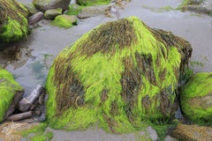 Pedras com lama e alga na praia de Foto de Stock Royalty Free