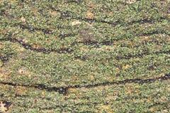 Pedras da tampa do búzio Fotos de Stock