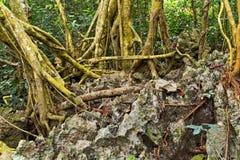 pedras verdes da floresta das raizes da árvore floresta tropical do jardim botânico foto de stock royalty free