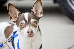 A small chihuahua dog stares with big ears. Pedro the Chihuahua has some large ears stock photo