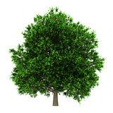 Pedunculate oak tree isolated on white Stock Photos