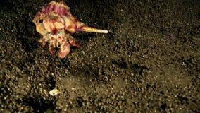 Pedunculatus van de krabdardanus van de anemoonkluizenaar in de nacht op het zand in Zoeloes overzees Dumaguete stock videobeelden