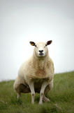 Peeing Sheep Royalty Free Stock Images