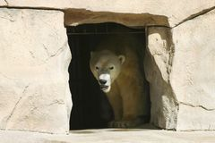 Peek. Big White Polar Bear looking around from inside his cage Stock Photography