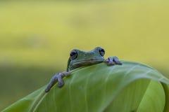 Frog, amphibians, animal, animales, animals,  animalwildlife, crocodile, dumpy, dumpyfrog, face, frog, green, macro, mammals,  Stock Image