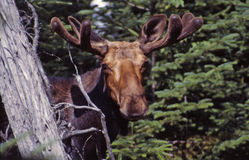 Peek a boo!!. This young bull moose peeks out thru the heavy cover he calls home royalty free stock image