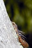 Peek a Boo. Iguan hides behind this tree. No I don't see him. Do you Stock Photo