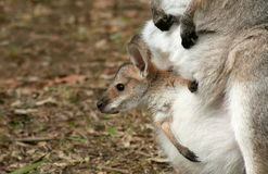 Peek a Boo. Baby wallaby or kangaroo in mother's pouch Stock Photo