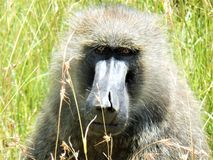 Peek-a-Boo Baboon. A baboon hanging out in the tall grass of Africa Stock Photos