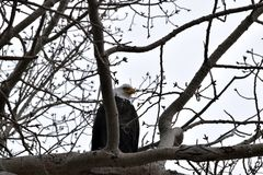Bald Eagle watching Royalty Free Stock Image