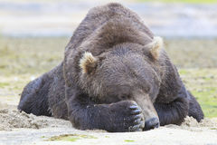 Peek-a -boo from big brown bear. Big brown bear covering his eye with his paw royalty free stock images