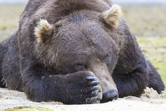 Peek a boo. Brown bear looking over paw Royalty Free Stock Photos