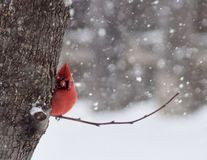 Peek-A-Boo Cardinal. Bright red Cardinal playing peek-A-Boo behind a tree on a snowy winter day in the Midwest with a bokeh stock photos