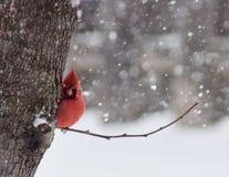 Peek-A-Boo Cardinal stock photos