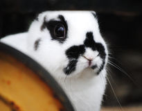 Peek a boo. A dwarf rabbit hiding behind a tricycle Stock Images