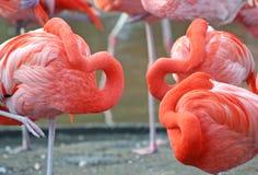 Peek A Boo Flamingo. Three flamingos hiding their heads Royalty Free Stock Images