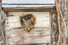 Peek-A-Boo Fox Squirrel Stock Images