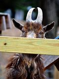 Peek a boo. An goat hiding behind an board on a farm in vermont Stock Photos