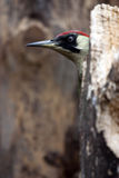 Peek-a-boo Green Woodpecker (Picus viridis). A playful green woodpecker peeping from behind an old rotten tree trunk Stock Photography