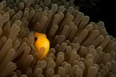 Peek-a-boo hide and seek clownfish. A clownfish anemonefish peeks out of an anemone underwater at night on a coral reef in tropical water royalty free stock images