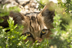 Peek-a-Boo Kitty. This is a little feral kitten that we feed peeking out of the bushes waiting for breakfast royalty free stock photos