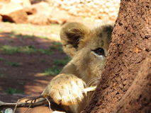 Lion Cub Peek a boo Royalty Free Stock Photos