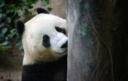 Peek-a-Boo Panda Stock Image