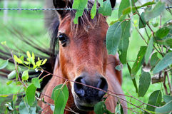 Peek-a-boo pony peeking through gum tree leaves Au Royalty Free Stock Photos