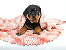 Peek a Boo! Puppy Royalty Free Stock Photo