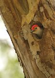 Peek a Boo. Red headed woodpecker Hiding in a hole Stock Images