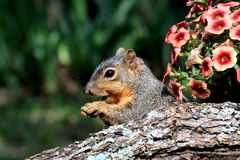 Peek-a-Boo Squirrel Royalty Free Stock Photos