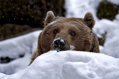 Peek-a-boo Syrian brown bear in the snow Stock Photos