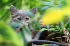 Peek a booh kitty. Kitten hiding behind bushes in a garden with sad puppy eyes Stock Photo