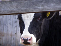 Peek a moo. Closeup of a cow under a the fence rail royalty free stock image
