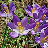 Peek of Spring. Crocus blooms bring the first signs of Spring Stock Photo