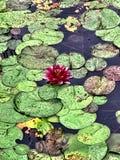 Peekaboo жаба стоковая фотография rf