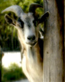 Peekaboo. Goat peeking out from behind a post Royalty Free Stock Images