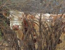 Peekaboo bovino Imagem de Stock