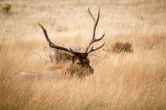 Peekaboo Bull Elk royalty free stock photography