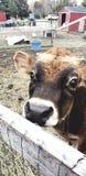 Peekaboo cow royalty free stock photography